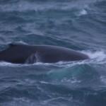 whale-kvaloy