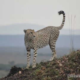 RAW – Cheetah Monitoring