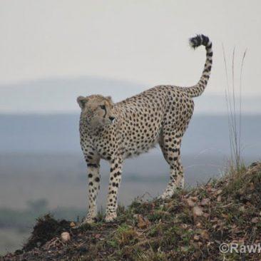 cheetah-programme
