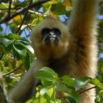 gibbon-spotting