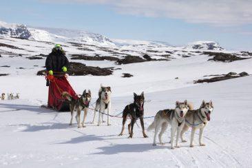 husky-sledding