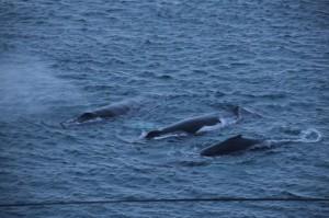 pod-humpbacks