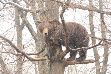 tree-bear