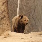 lone-bear