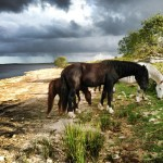 bodmin-moor-ponies