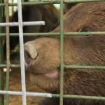 pluto-bear-rescue