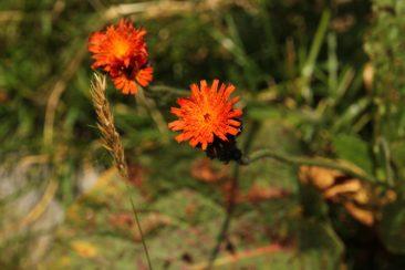 orange-hawkweed